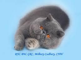 shorthair cat price shorthair kittens for to milbury cattery