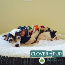 Rat Terrier Excessive Shedding by Winter Grooming Archives U2013 Clover Pup Salon