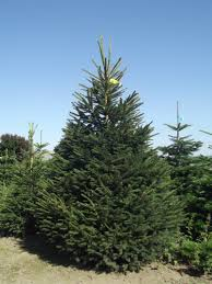 Balsam Christmas Trees Uk by Real Christmas Trees From The Billingley Christmas Tree Farm