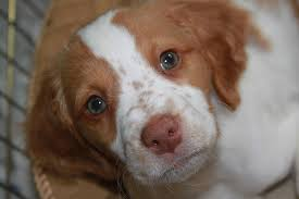 Do Brittany Spaniels Shed Hair by Brittanys The Brittany Pointer Dog Breed Answers