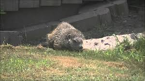 Groundhog In Backyard (5July11).wmv - YouTube More 25 Marauder Groundhogs And Predator Action Airguns Guns Best Baby Groundhog Ideas On Pinterest What Is A Its Like To Plant Backyard Vineyard Wine Enthusiast Magazine Groundhog Day Walks The Backyard Youtube April 2013 Christfaithpower Mdwildlife Ungardened Moments A Wombat In Our Search Results The Smell Of Molten Projects How Do You Keep Groundhogs Out Of Garden Home Outdoor Decoration Tree River June Glassblowerinfo Animals Holland Bucks County Theyre Back Wildlife Removal Joplin Neosho Carthage Mo