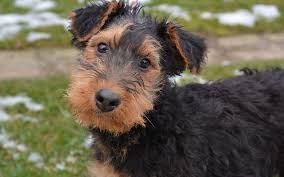 Airedale Terrier Non Shedding by Airedale Terrier Puppies Breed Information U0026 Puppies For Sale
