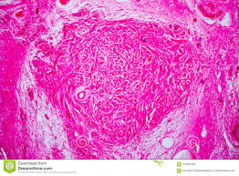 Cross Section Human Ovary Under Microscope View Stock Photo