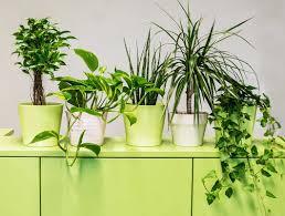 luftreinigende pflanzen fürs büro die top 9 für besseres