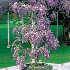 planting wisteria in a pot wisteria standard wisteria from meuwen gardening