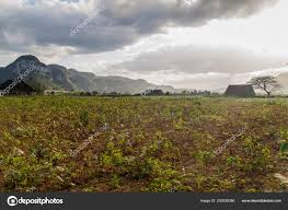 Landscape Tobacco Fields Drying Houses Vinales Cuba Stock Photo