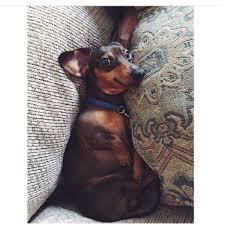 Do Miniature Pinschers Shed by Sleeping Puppy Hits The Dream Bone Jackpot Gifs
