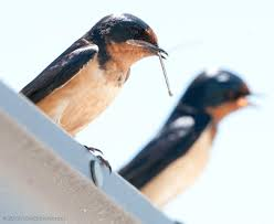 Avian Explorer » Blog Archive » Barn Swallow Babies Bird Nest Idenfication Identify Nests How To Get Rid Of Swallows Best 25 Barn Swallow Ideas On Pinterest Pretty Birds Blue Bird Tree Have Returned From Migration To In Gourds Stained Glass Window March 2017 Cis Corner F June 2012 Nextdoor Nature Stparks Roosting For The Love Birds Easy Tips Attract Swifts And Martins True Life With God Hard Swallow Avian Explorer Blog Archive Babies Cottage Country Reflections Darou Farm Site Demolition Is Hold