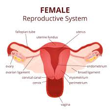 Ovary Diagram Labeled Diagram Pinterest Reproductive System