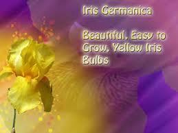 4 yellow bearded iris rhizomes yellow irises flower bulbs 4