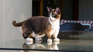 munchkins cats munchkin cat trend is deformity animal abuse cattime