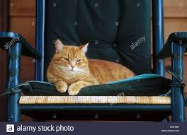 House Cat Sitting On A Rocking Chair Stock Photo: 278330523 ...