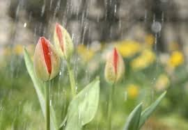 watering for tulips learn about tulip watering needs