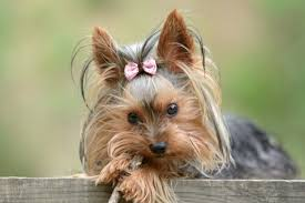 Terriers That Dont Shed by Dog Breeds That Don U0027t Shed Pawculture