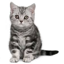 shorthair cat price the shorthair cat cat breeds encyclopedia