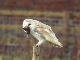 Three Owls Bird-Sanctuary:: Barn Owl Eating Mouse Sussex Uk Tyto Alba Stock Photo Royalty Bird Of The Month Owl Barn A Free Image 51931121 How To Attract Owls Your Yard 1134 Best Birdsstrigiformesowls Images On Pinterest Wikipedia Facts Pictures Diet Breeding Habitat Behaviour Eating Picture And 1861 Owls Snowy Saw Whets Chick Raptor Conservancy Virginia Baby And Animal