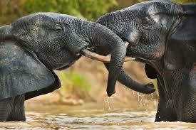 Two Elephant Bulls In An Aggressive Confrontation Mole National Park Image By Mint Images