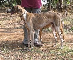Low Shedding Dogs In India mudhol hound dog breed the indian sight hound pets world