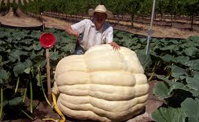 Atlantic Giant Pumpkin Record by Meet The Man With A Gift For Growing Giant Pumpkins Modern Farmer