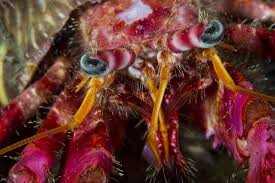 Do Hermit Crabs Shed Their Body by Fun Facts About Hermit Crabs