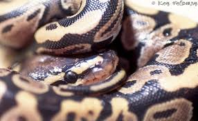 Ball Python Shedding Eating by Ball Pythons A Troubleshooting Guide To Care And Husbandry