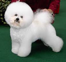 List Of Non Shedding Hypoallergenic Dogs by 100 List Of Medium Non Shedding Dogs Deshedding Tool U0026