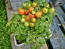 Cherry Tomatoes In Pots Photo WVC