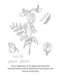 Coloring Book Beach Pea Botanical Illustrations
