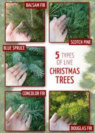 Christmas Tree Species Usa by Growing Trees For Profit Is An Ideal Part Time Or Full Time