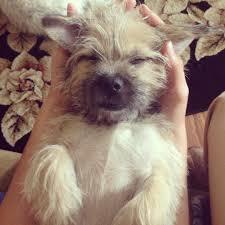 Stop Rat Terrier Shedding by Chloe A Rat Shi Terrier Puppy Love Pinterest Terrier