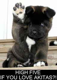 Do Akita Dogs Shed Hair by I Had An Akita Very Very Sweet Dog And Huge These Are A Few Of