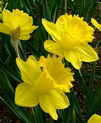 narcissus king alfred dnii trumpet daffodils narcissi flower