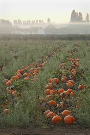 Varieties Of Pie Pumpkins by Free Pumpkin Field Night Sept 15 Focuses On Jack O Lanterns Pie