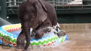 Dallas Zoos Nearly Two Month Old Elephant Calf Plays In A Kiddie Pool For The