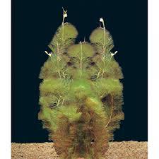 freshwater aquarium plants for sale petsolutions