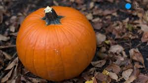 Connecticut Field Pumpkin by How To Pick A Pumpkin This Year