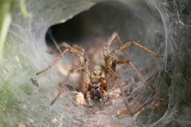 Do Tarantulas Shed Their Fangs by Uk Spider Identification 17 Common British Spiders You Might Find