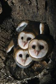 75 Best Barn Owl Images On Pinterest | Barn Owls, Beautiful Birds ... This Galapagos Barn Owl Lives With Its Mate On A Shelf In The Baby Barn Owl Owls Pinterest Bird And Animal Magic Tito Alba Sitting On Stone Fence In Forest Barnowl Real Owls Echte Uilen Wikipedia Secret Kingdom Young Tyto Roost Stock Photo 206862550 Shutterstock 415 Best Birds Mostly Uk Images Feather Nature By Annette Mckinnnon 63 2 30 Bird Great Grey