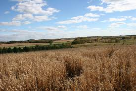 Pumpkin Patch Near Appleton Wi by Cornfield Minnesota Prairie Roots
