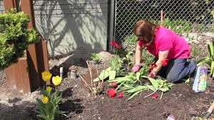 when to divide tulip bulbs grow guru
