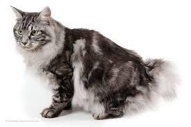 bobtail cat kurilian bobtail cat breed information history