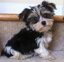 Morkies Do They Shed by Yorkshire Terrier Puppies For Sale