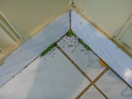 Pavement Ants Extermination Pest Control of Bed Bugs Fleas and
