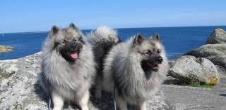 Dogs That Dont Shed Keeshond by Everything About Your Keeshond Luv My Dogs