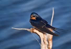Hinterland Who's Who - Barn Swallow Barn Swallow Sitting On A White In Sumrtime Stock Photo Swallow Watercolor Print 5x7 Bird Art David Scheirer Wooden By Limitlessendeavours On Deviantart Birding Is Fun The Beloved Character Concept Pilot Illustration Project Barn Barnstorming Swallows Make Their Return To New Hampshire Birds Of York Larks And Kinglets Cool Facts About Small With Forked Tails Hirundo Rustica Male Lake Washington Union Bay Seattle Usa Feather Tailed Stories