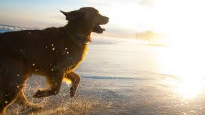 Big Lazy Non Shedding Dogs by Looking For A Running Partner These 10 Dog Breeds Are All You