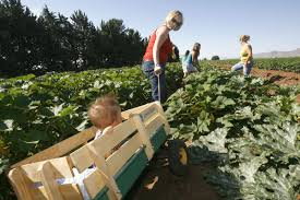 Pumpkin Patch Marana by 3 Pumpkin Picking Festivals Happening This Season To Do