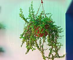 Plants In Bathroom According To Vastu by Looking For A Plant That Attracts Prosperity And Money For You