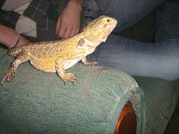 Bearded Dragon Shedding In Patches by Need Help Black Patch On Her Leg U003d Many Pics U2022 Bearded Dragon Org