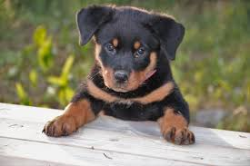 Do Hypoallergenic Dogs Still Shed by Are Rottweilers Hypoallergenic Canna Pet